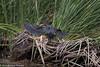 Green Heron<br /> Laguna Niguel RP<br /> Orange County, CA<br /> 5/18/2016