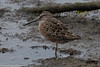 Short-billed Dowitcher<br /> Bolsa Chica<br /> Orange County, CA<br /> 4/14/2016