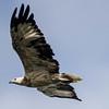 White-bellied Sea eagle (immature) (Haliaeetus leucogaster)