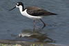 Black-neck Stilt<br /> San Joaquin Wildlife Sanctuary<br /> Orange County, CA<br /> 4/28/2016