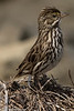 Savannah Sparrow<br /> Bolsa Chica<br /> Orange County, CA<br /> 4/14/2016