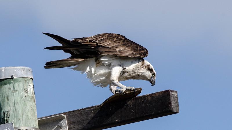 Eastern Osprey (Pandion haliaetus cristatus)