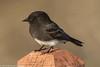 Black Phoebe<br /> San Joaquin Wildlife Sanctuary<br /> Orange County, CA<br /> 10/25/2016