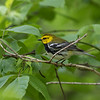 Black throat Green Warbler