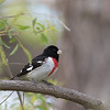 Rose breaster Grosbeak