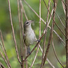 Warbling Vireo with Nesting Material