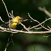 Prothonotary Warbler with Nesting Material