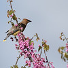 Cedar Waxwing on Redbud
