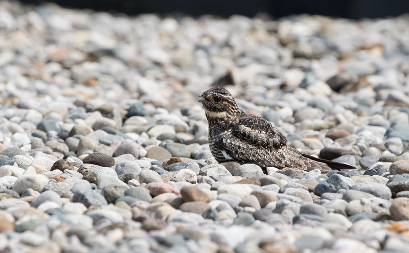 Common Nighthawk on roof of building at Wastewater Treatment Plant