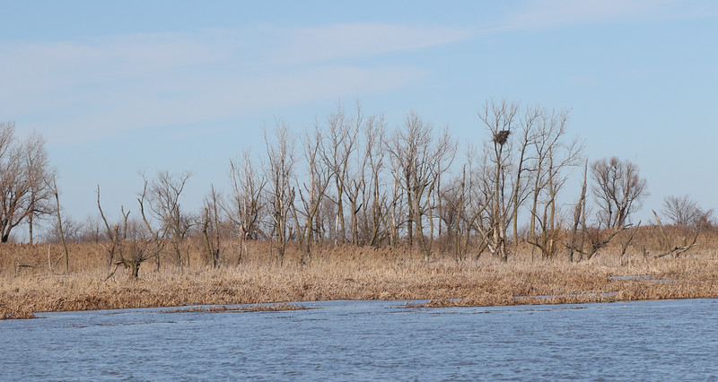 Bald Eagle Nest in the Marsh