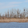 Bald Eagle Nest in the Marsh