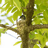 Blue gray Gnatcatcher in Nest