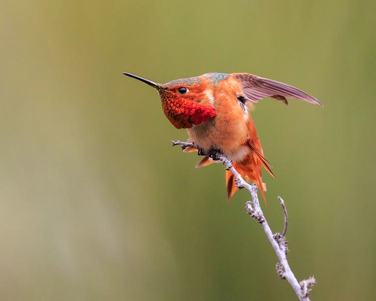Allen's Humming Bird (Charge!)