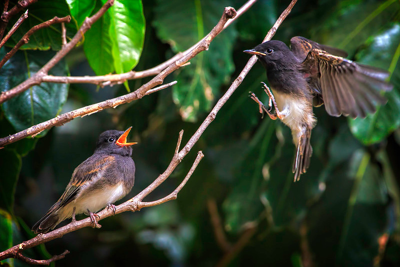 Two fledgling Black Phoebes