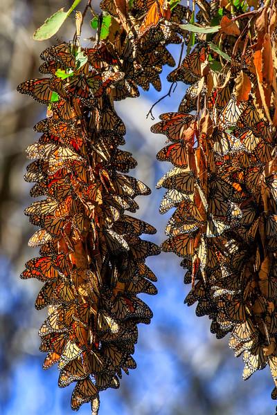 Monarch Butterfly bunch