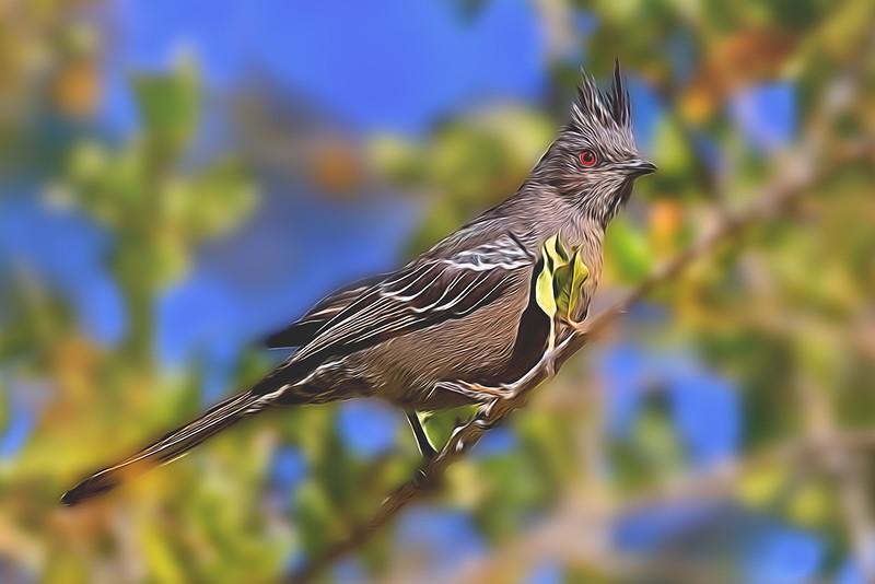 Phainopepla (Juvenile)