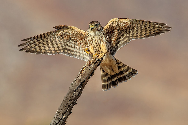 Merlin with Dragon Fly