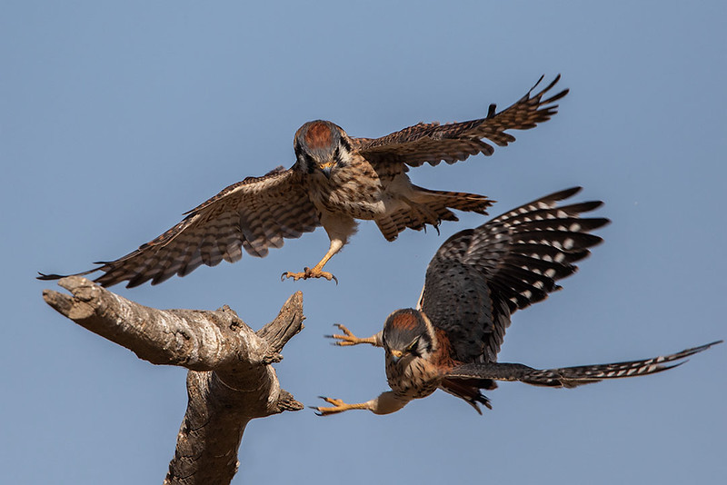 Kestrels