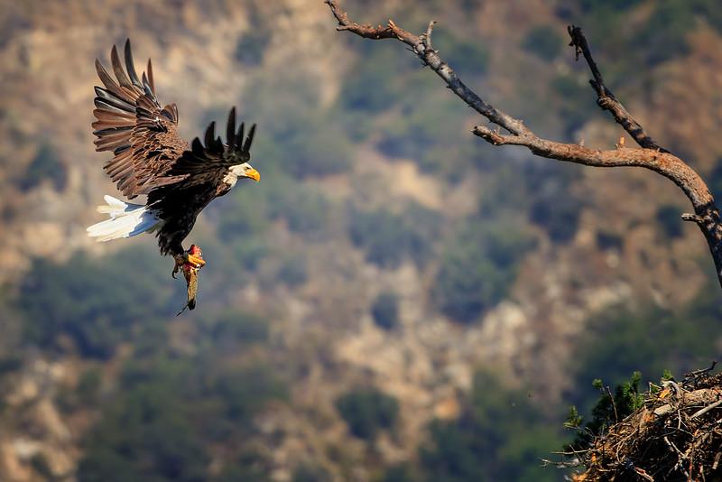 Bald Eagle: Dad bring more groceries!
