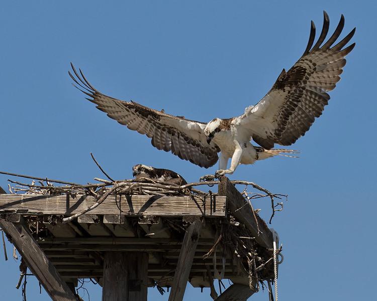 Osprey on the nest