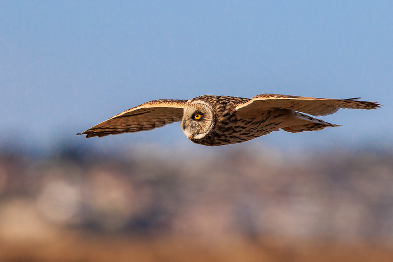 Short Eared Owl