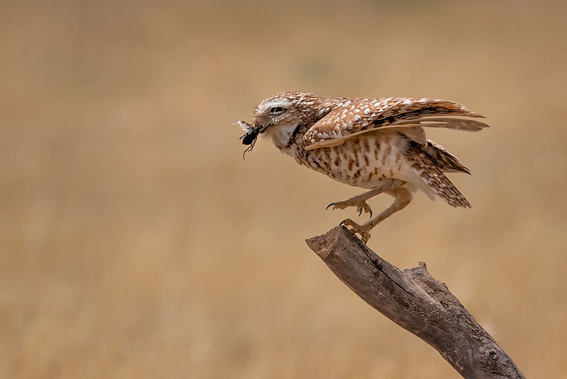 Burrowing Owl (Male)
