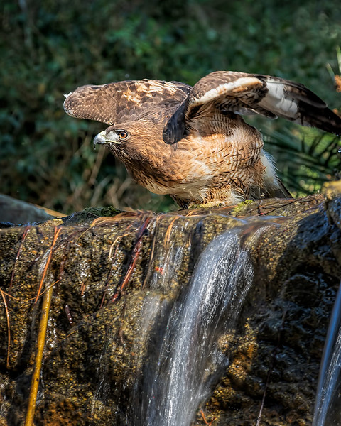 Red-tailed Hawk in waterfall