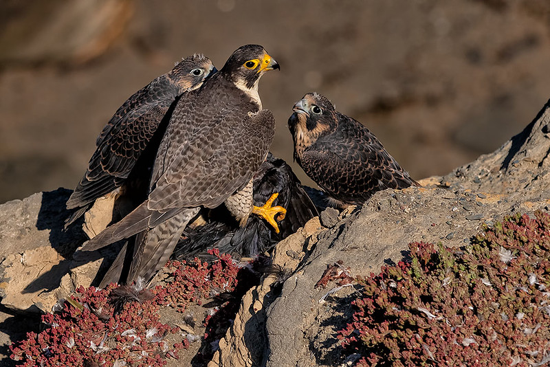 Peregrine Falcons (Mom and 2 Chicks)