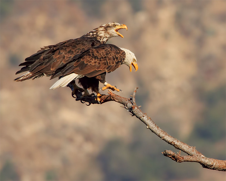 Bald Eagle: Proud couple. Look how much whiter Moms head is in just a few months from the Pic with her chick above.