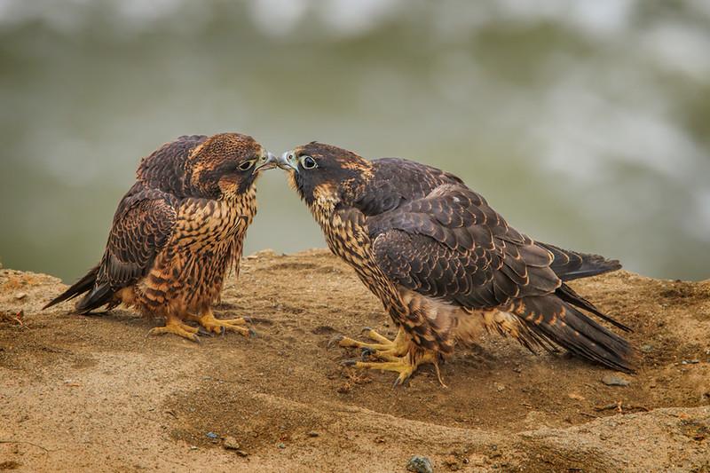 Peregrin Falcons