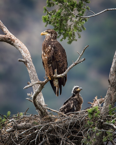 Bald Eagle: Mom and her one chick.