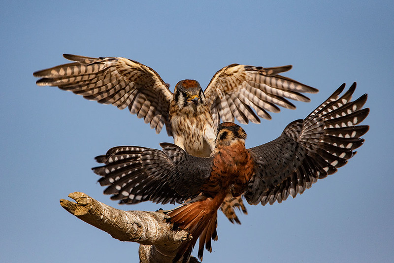 American Kestrels