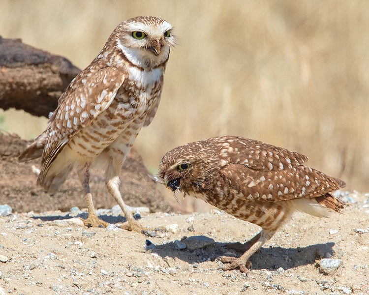 Burrowing Owls (Mom and Dad)