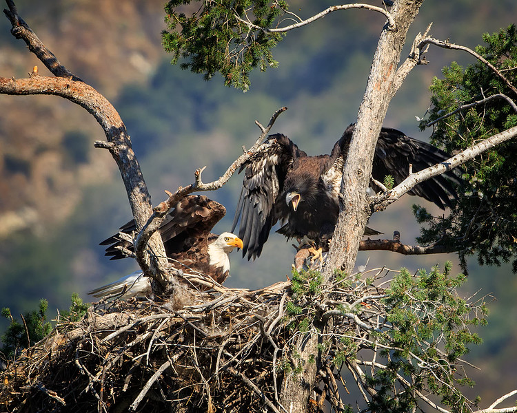 Bald Eagle: Dad bringing dinner for Junior.