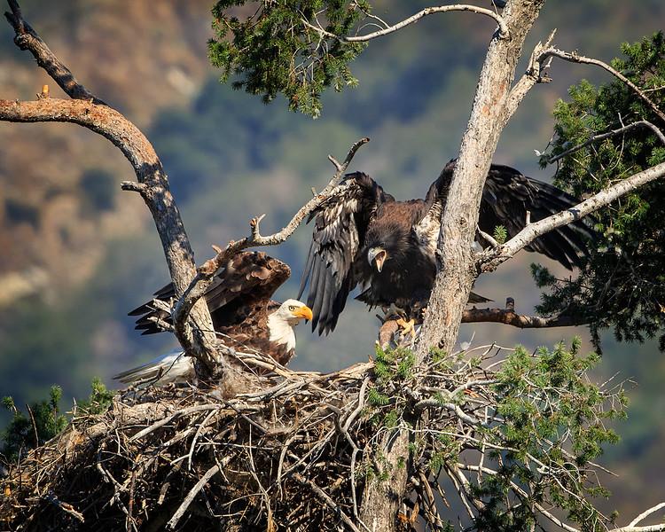 Bald Eagle: Dad bringing dinner for Junior.