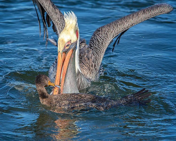 Brown Pelican and Cormorant
