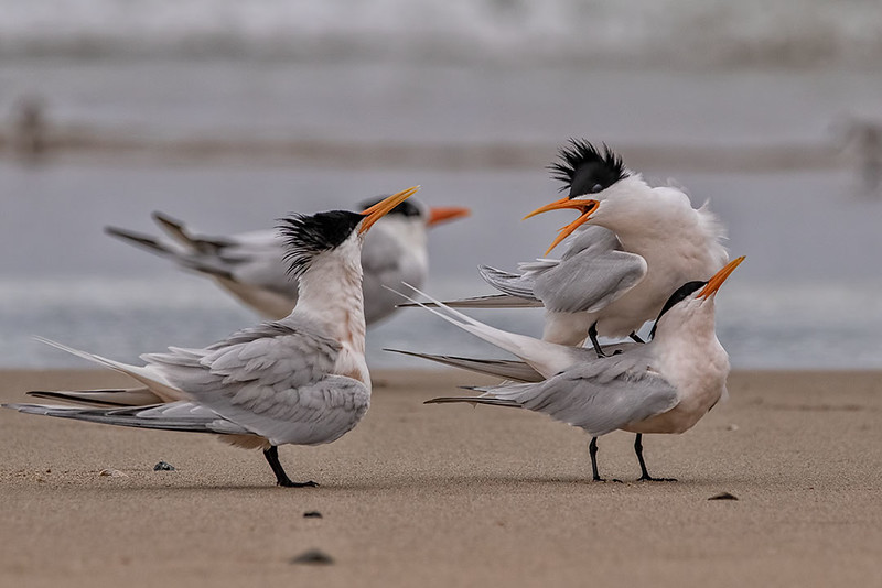 Elegant Terns (Stay Back!)
