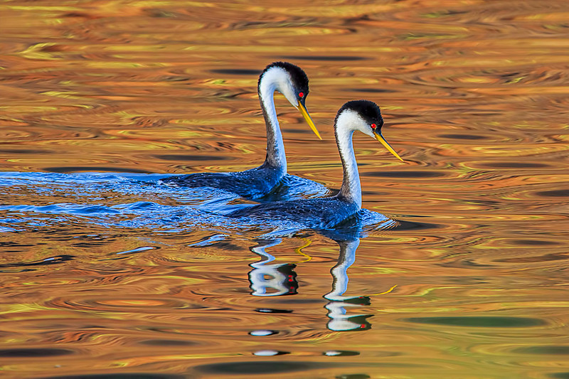 Grebe couple