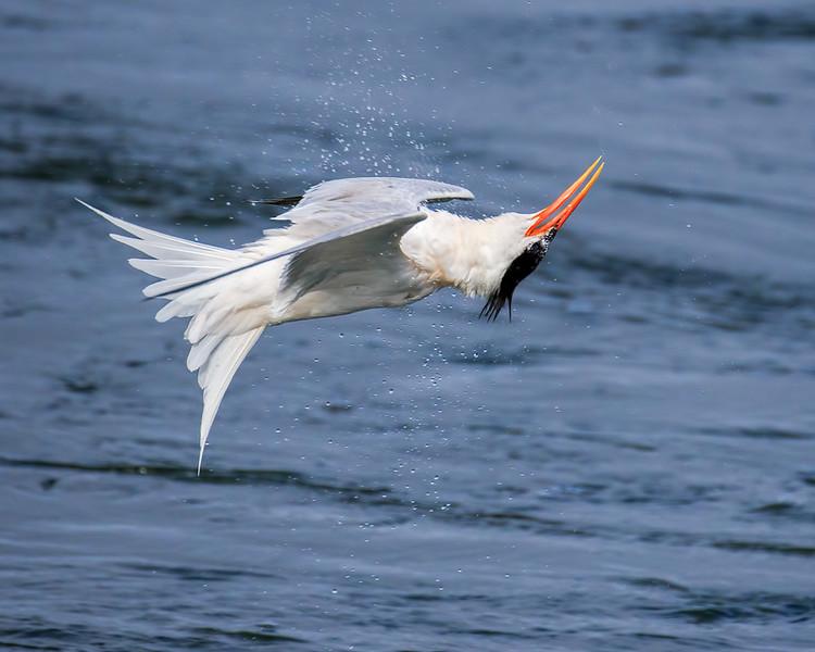 Twisting Tern