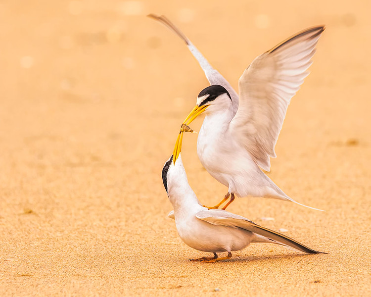 Male Tern feeding a Female
