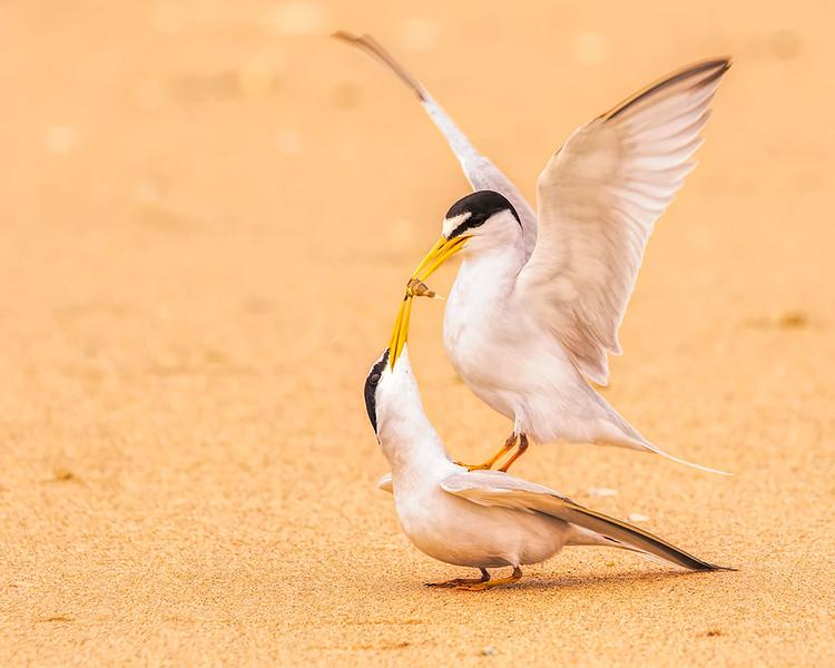 Male Tern feeding a Female