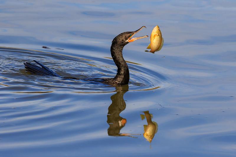 Cormorant with sunfish