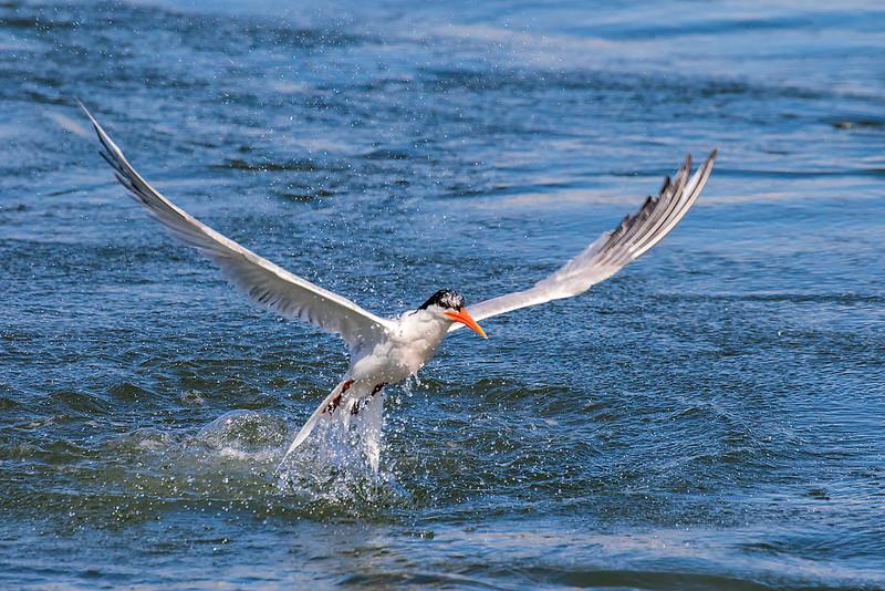 Tern in the water