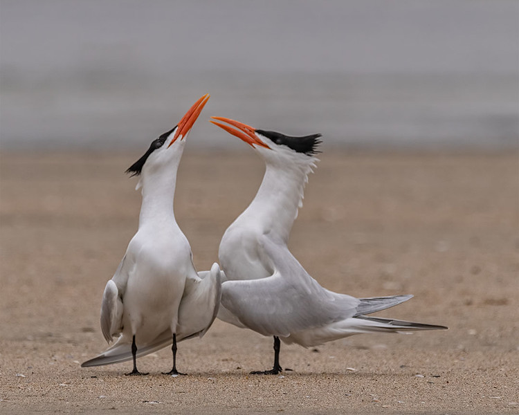 Elegant Terns Mating Dance