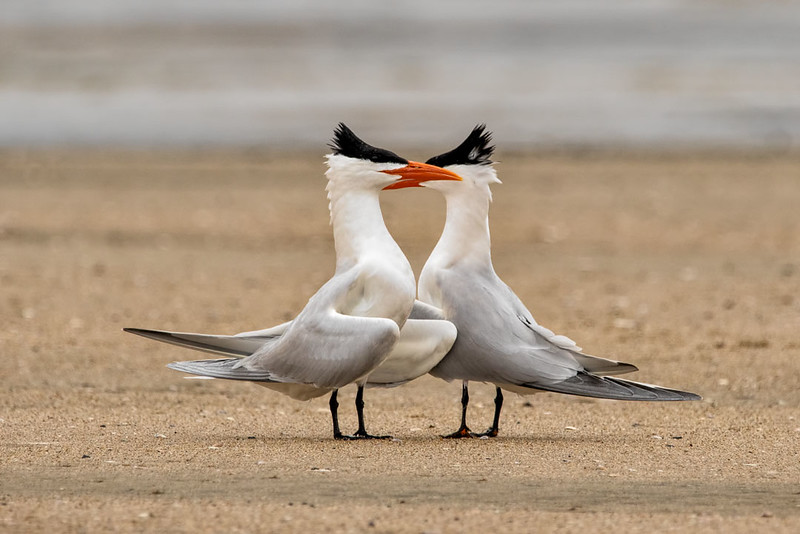 Elegant Terns getting ready to mate