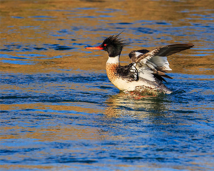 Common Merganser (Male)