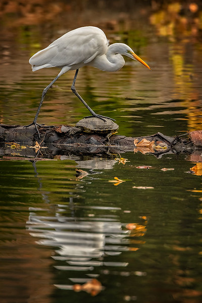 Great Egret and turtle stepping stone