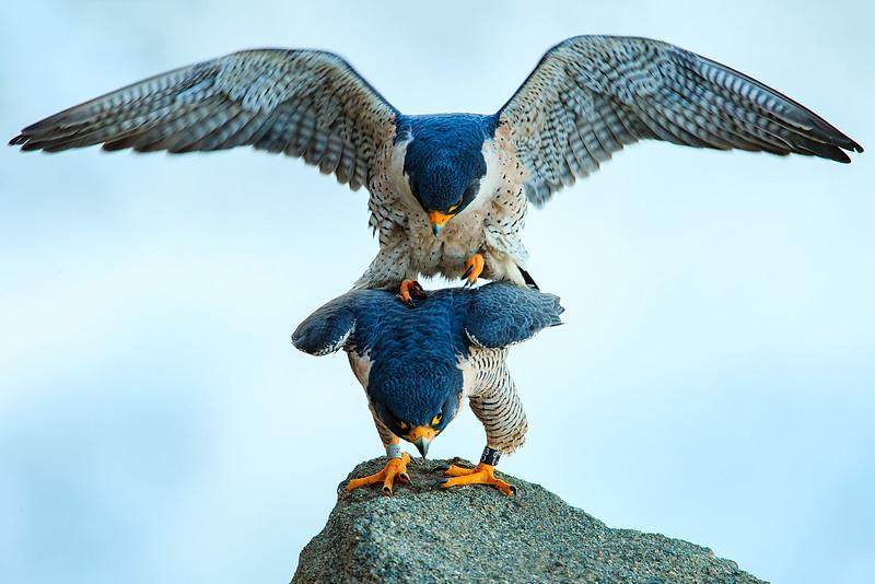 Peregrine Falcons (matting)