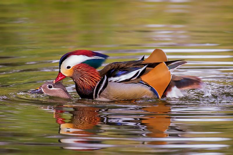 Mandarin Duck (mating)