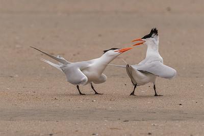 Elegant Terns